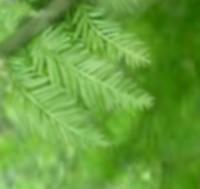 Rakuusyou_leaf
