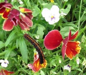 ツマグロヒョウモンの幼虫 Larva_01_img_1307