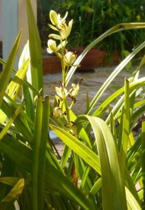 和蘭Orchid