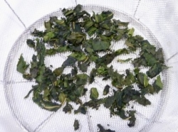 桑の葉を干す P1140959_dried_sml