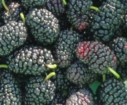 桑の実 P1140987-mulberry